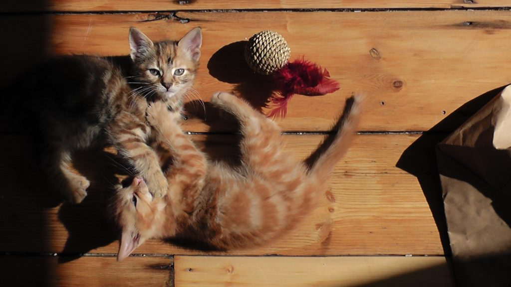 Two cats playing on a wooden floor.