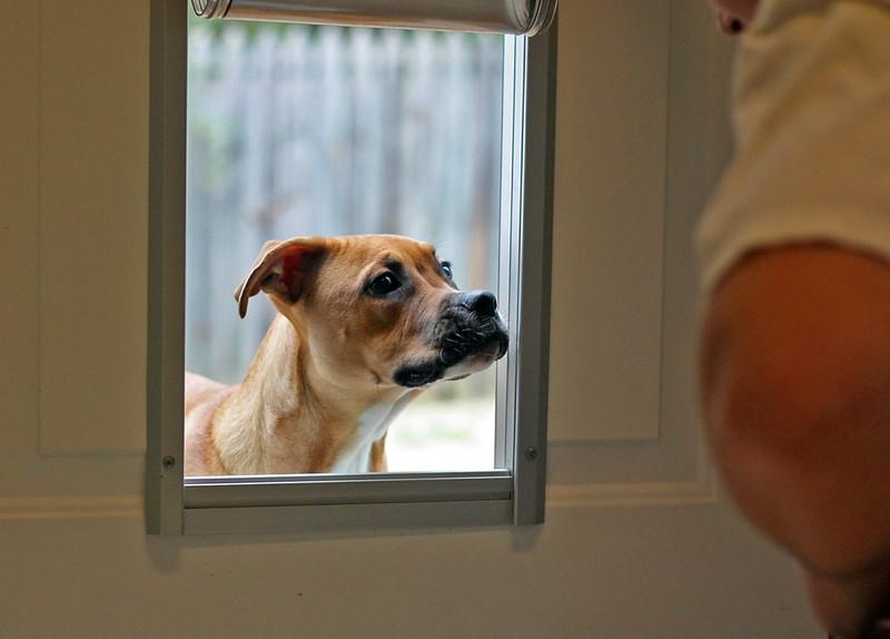 A dog looking through a doggy door.